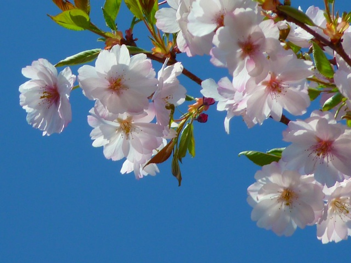 cherry tree blossom, springtime blossoms