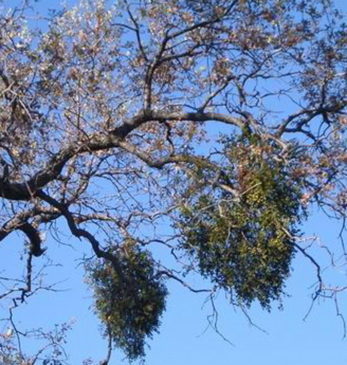 Mistletoe is a parasite