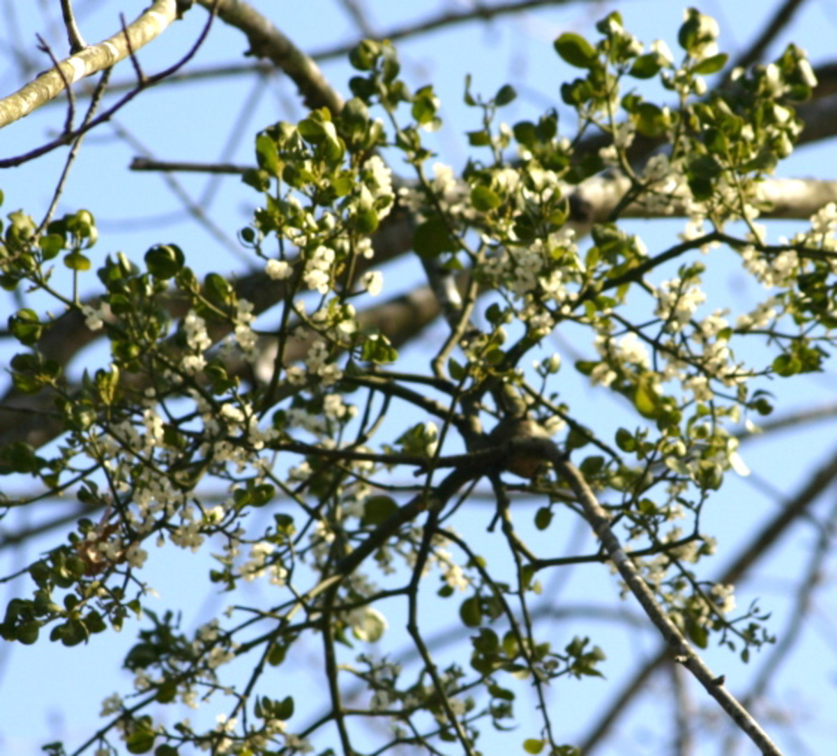Mistletoe: What is the Meaning of Mistletoe?