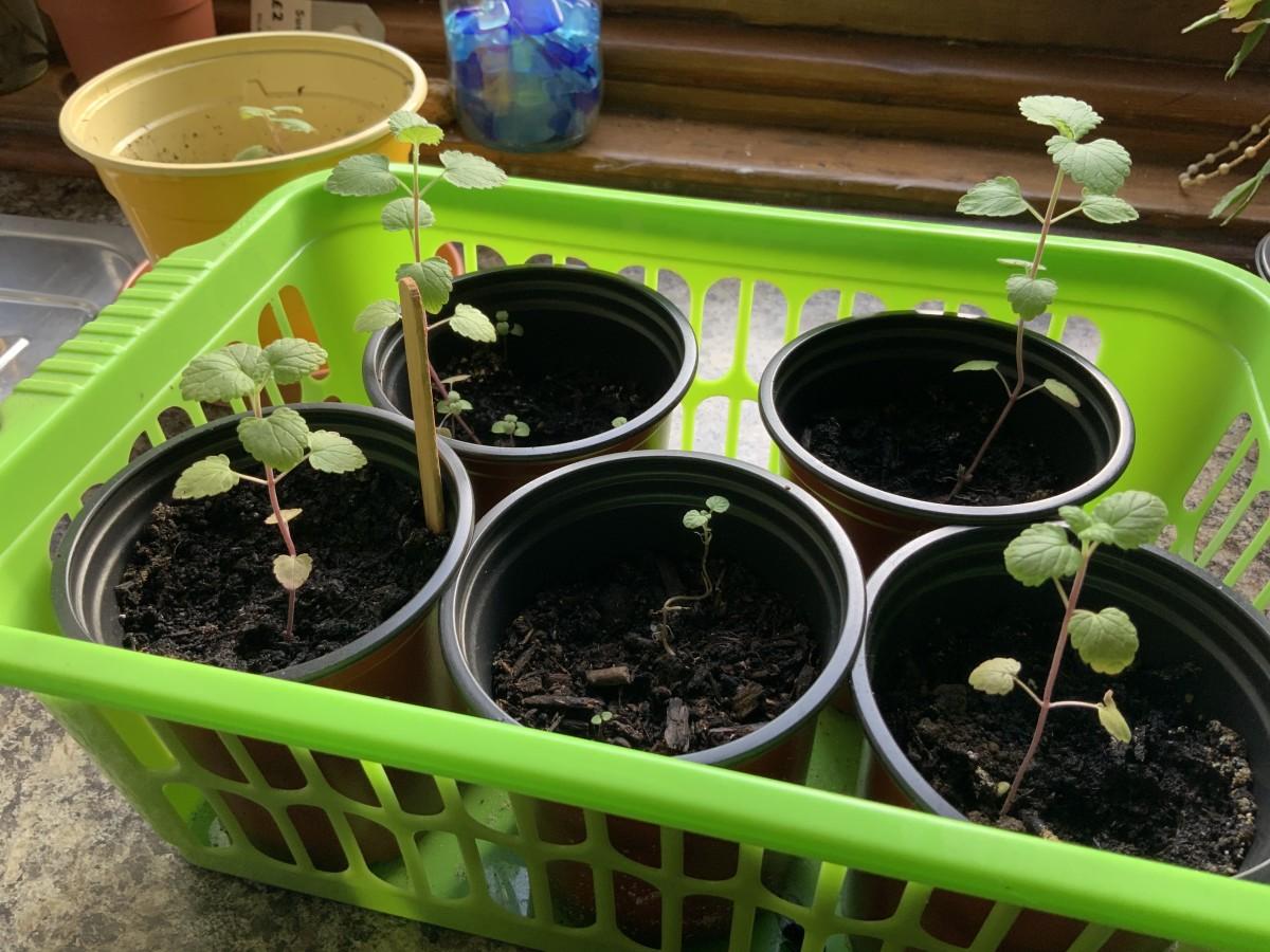 Growing on catnip seedlings