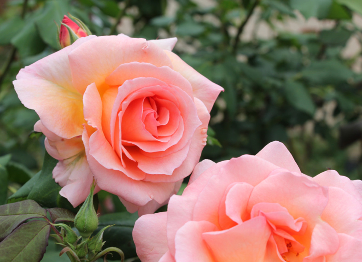 Hybrid Tea Rose Bush - My Favorites Are Just Joey, Double Delight, the Childrens Rose