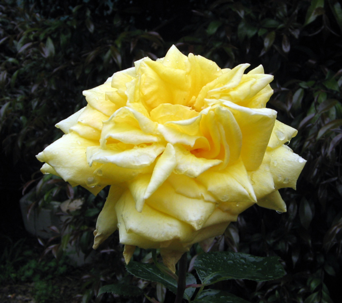 The Children's Rose aka 'Gina Lollobrigida'