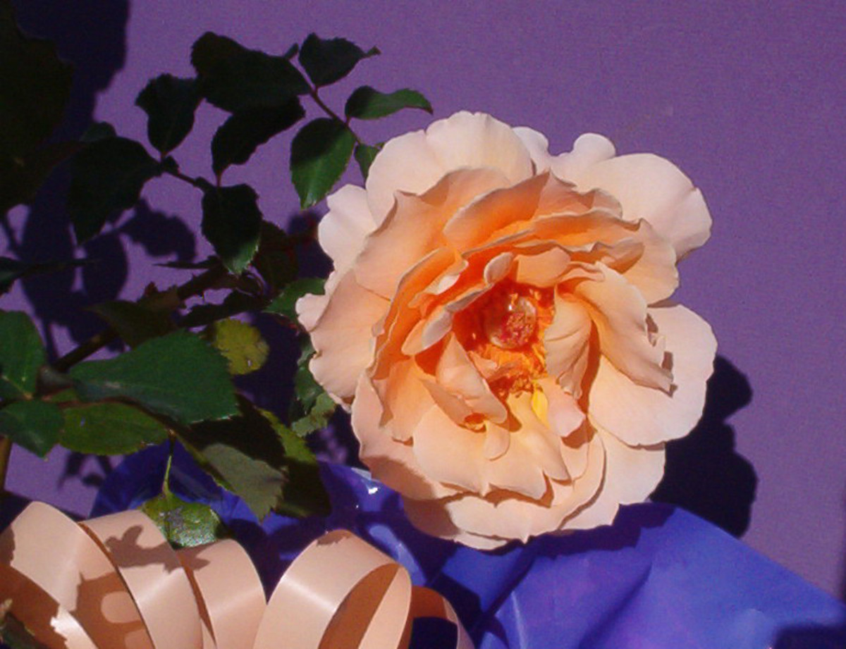 Just Joey , the rose that started it for me!