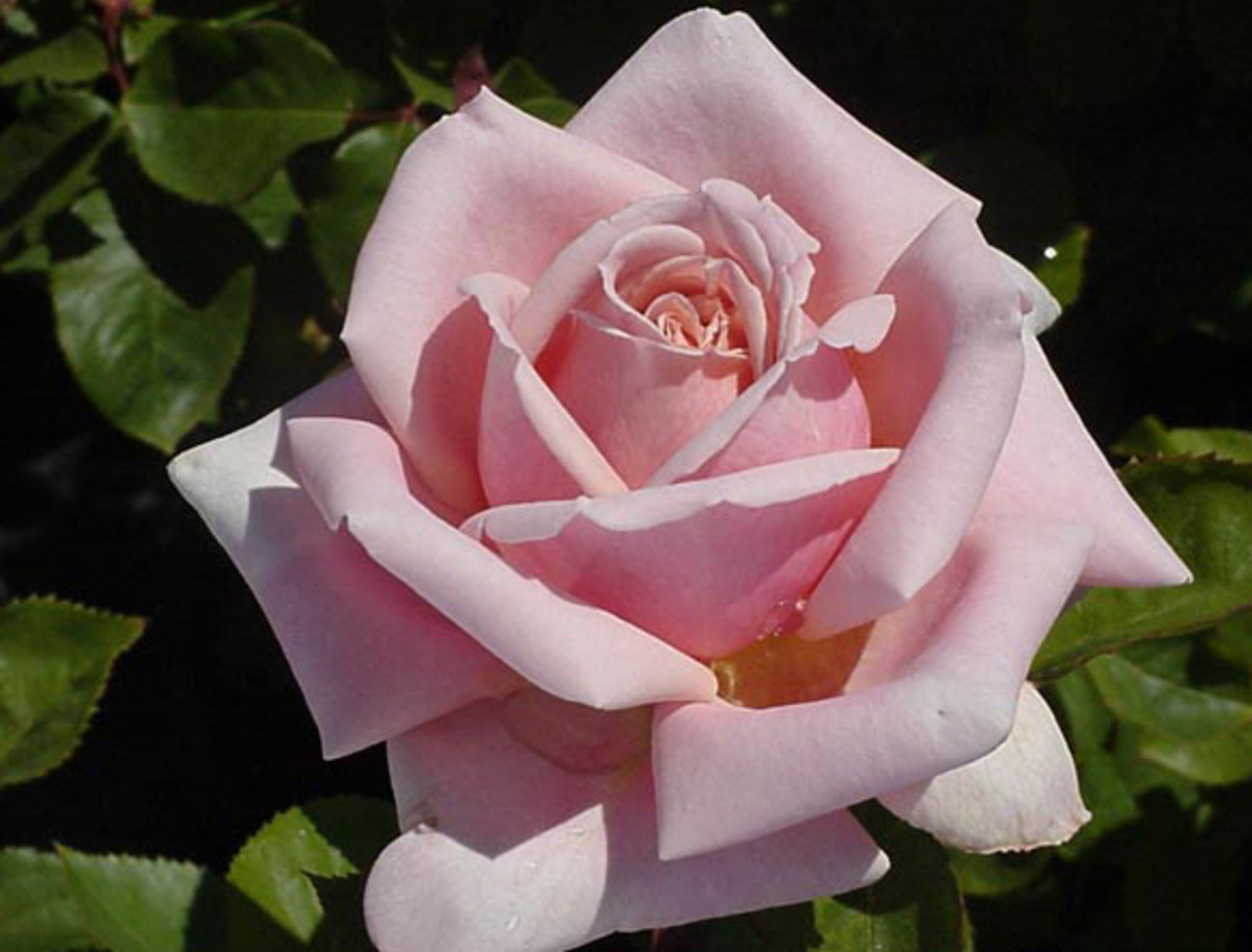 The Children's Rose also known as Fredric Mistral Rose