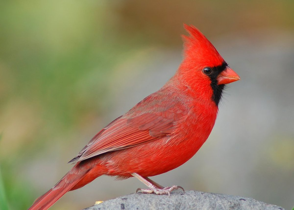 Songbirds: North Carolina's State Bird-How to Identify the Northern Cardinal