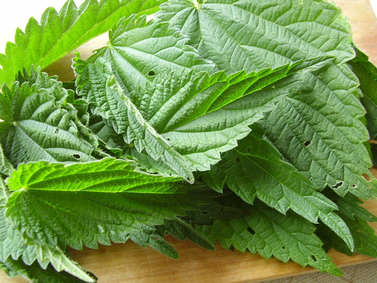 Fresh leaves of stinging nettle are good for soups, pies, salads