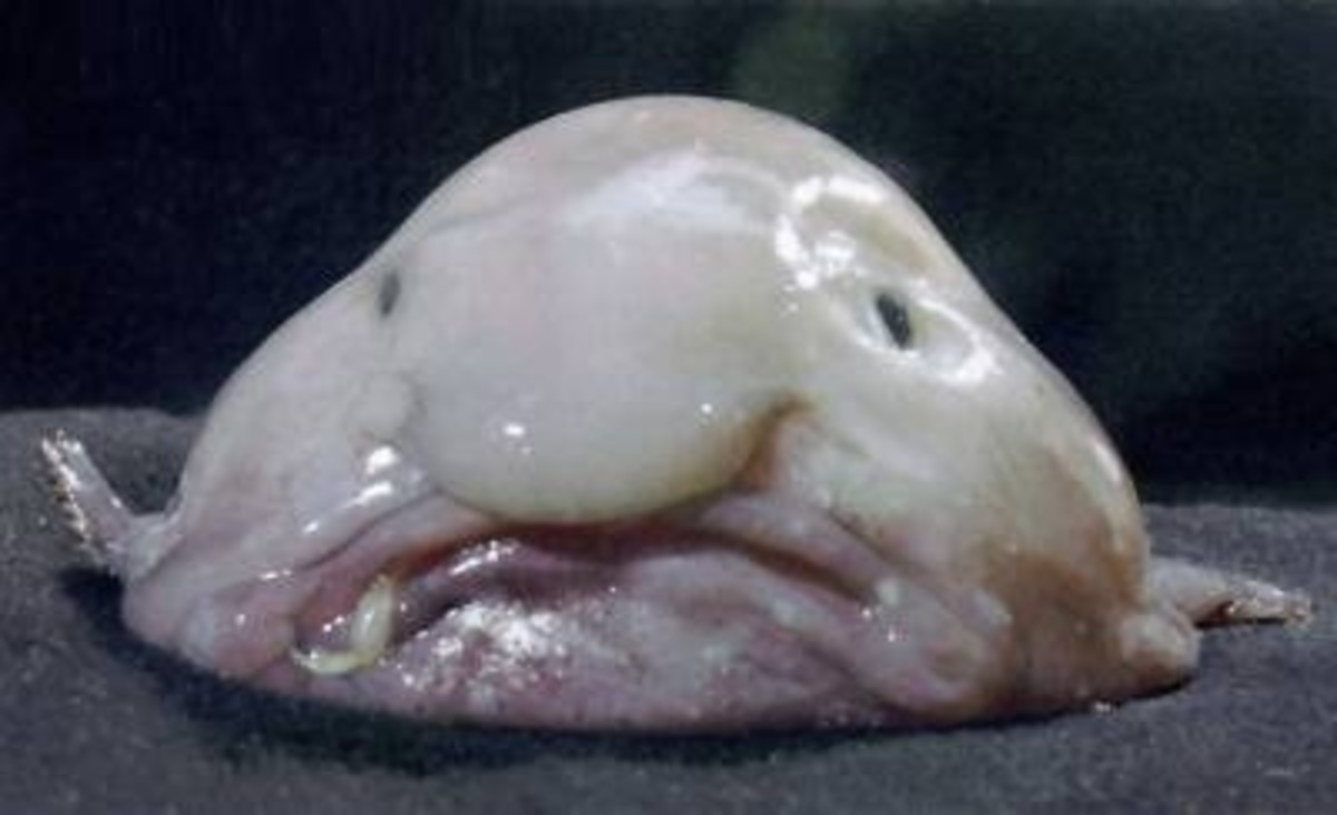 Blobfish Looks Like Human Face