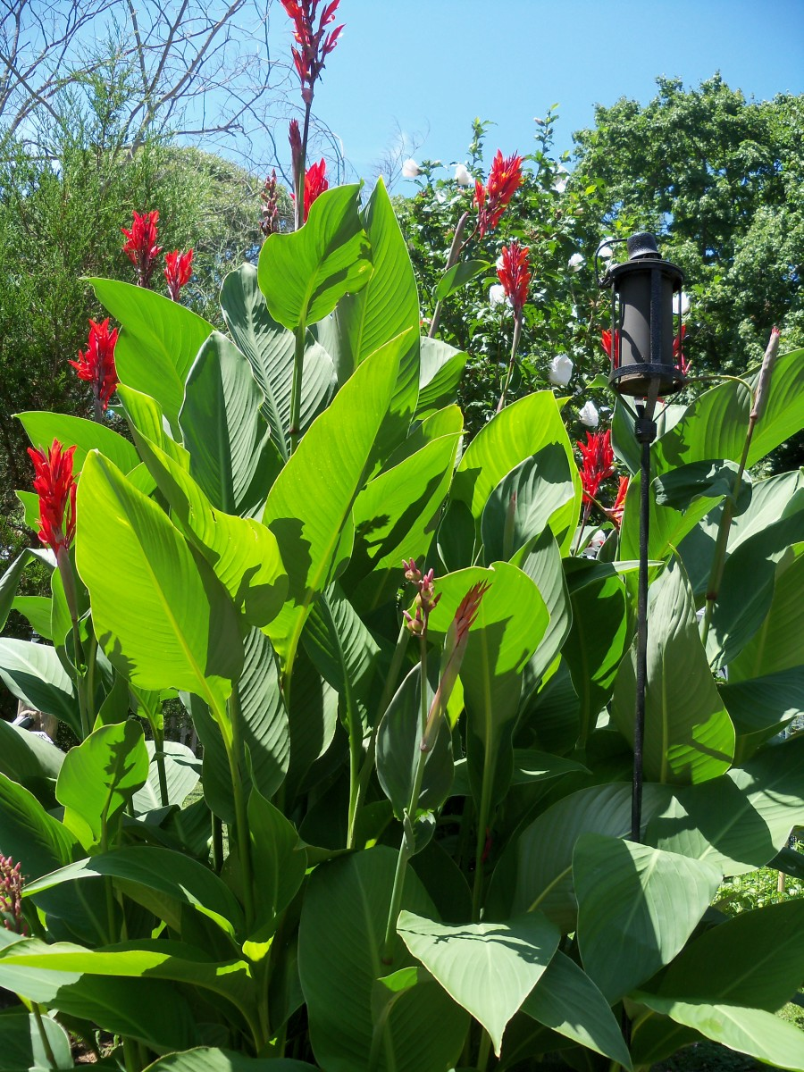 Learn How To Plant, Care and Grow Splendid Canna Lilies