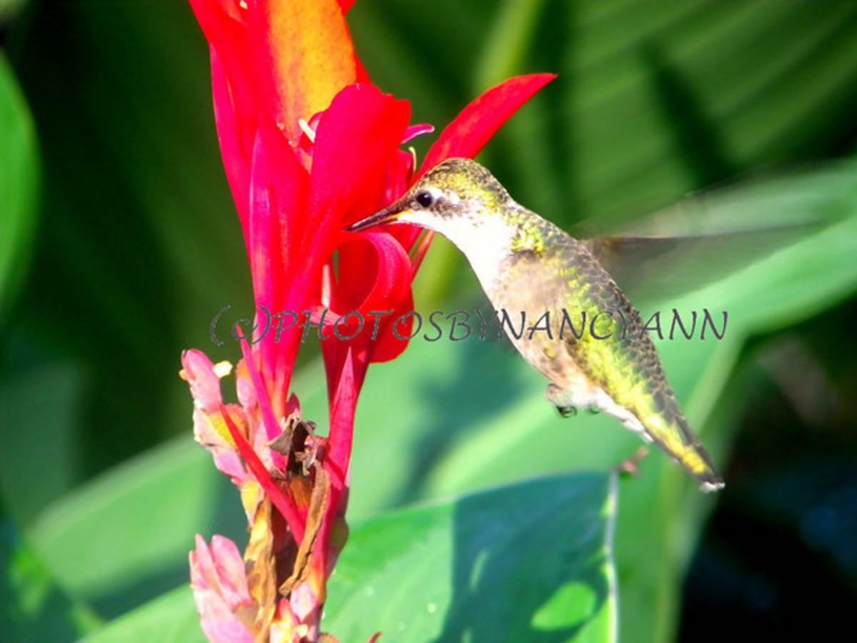 Hummingbird getting nectar from a Canna Lily Flower
