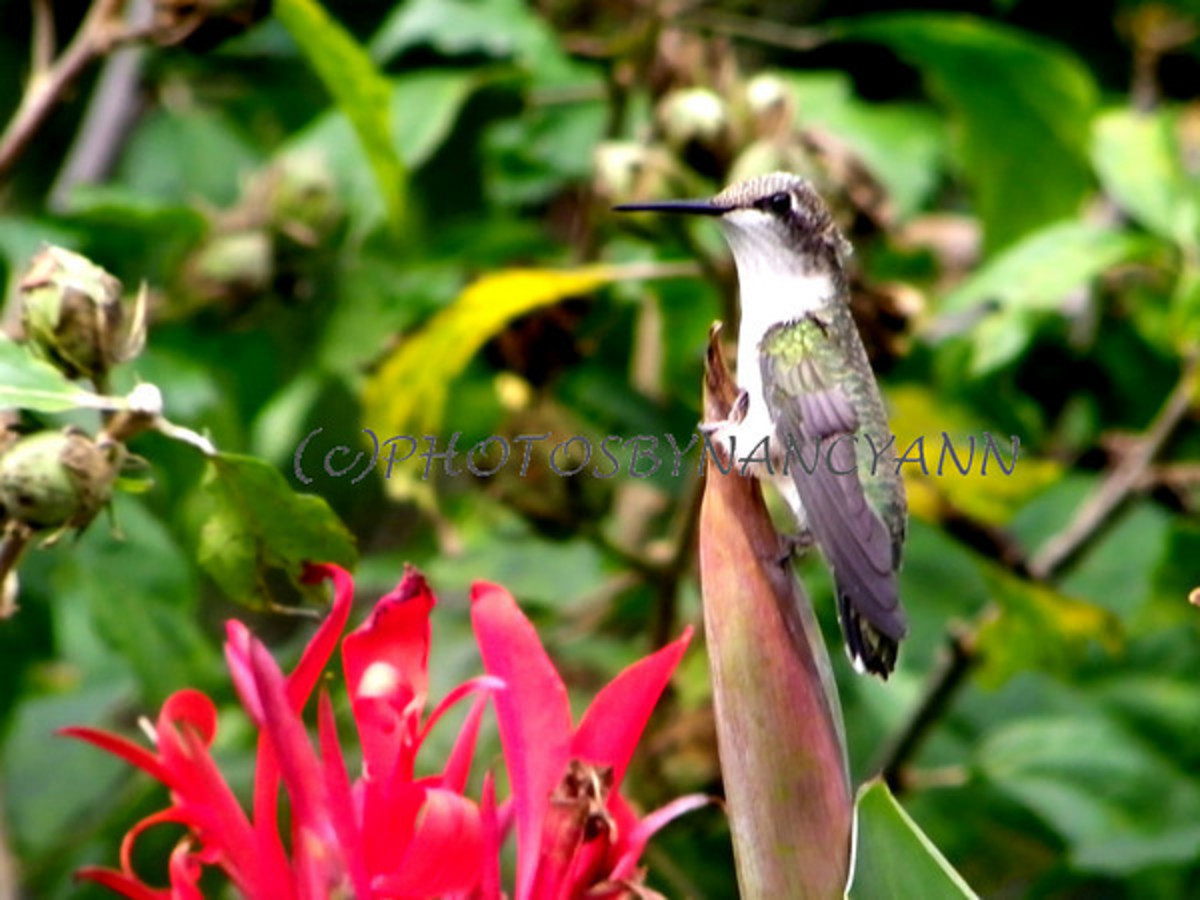 how-to-attract-hummingbirds-plant-canna-lillis-in-your-garden