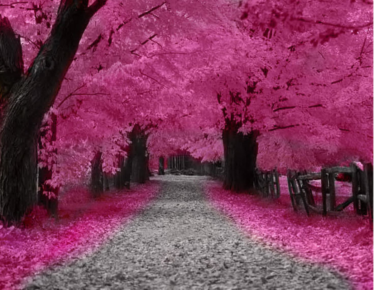 dwarf weeping cherry tree pictures. There are many types of cherry