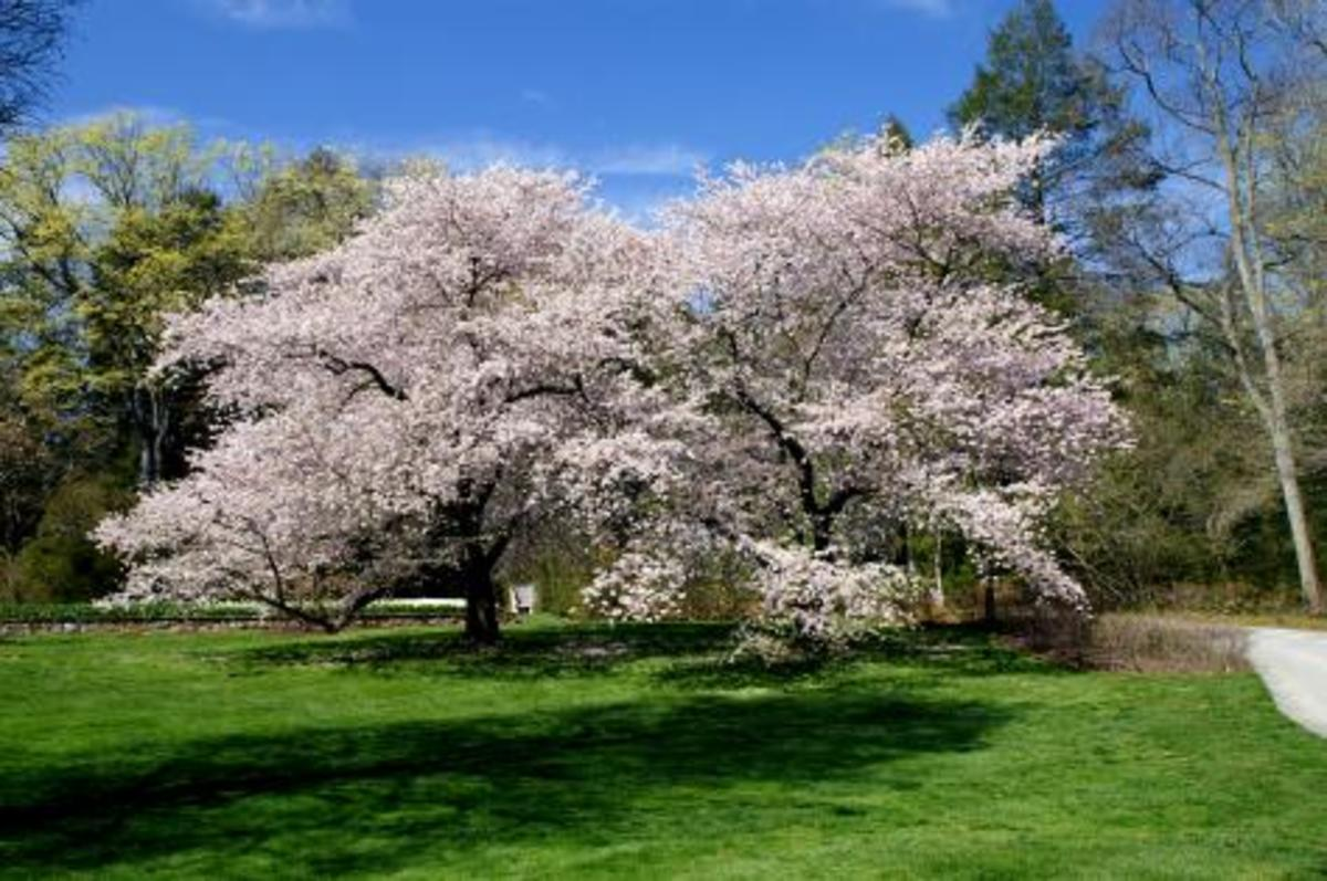 types of cherry trees hubpages