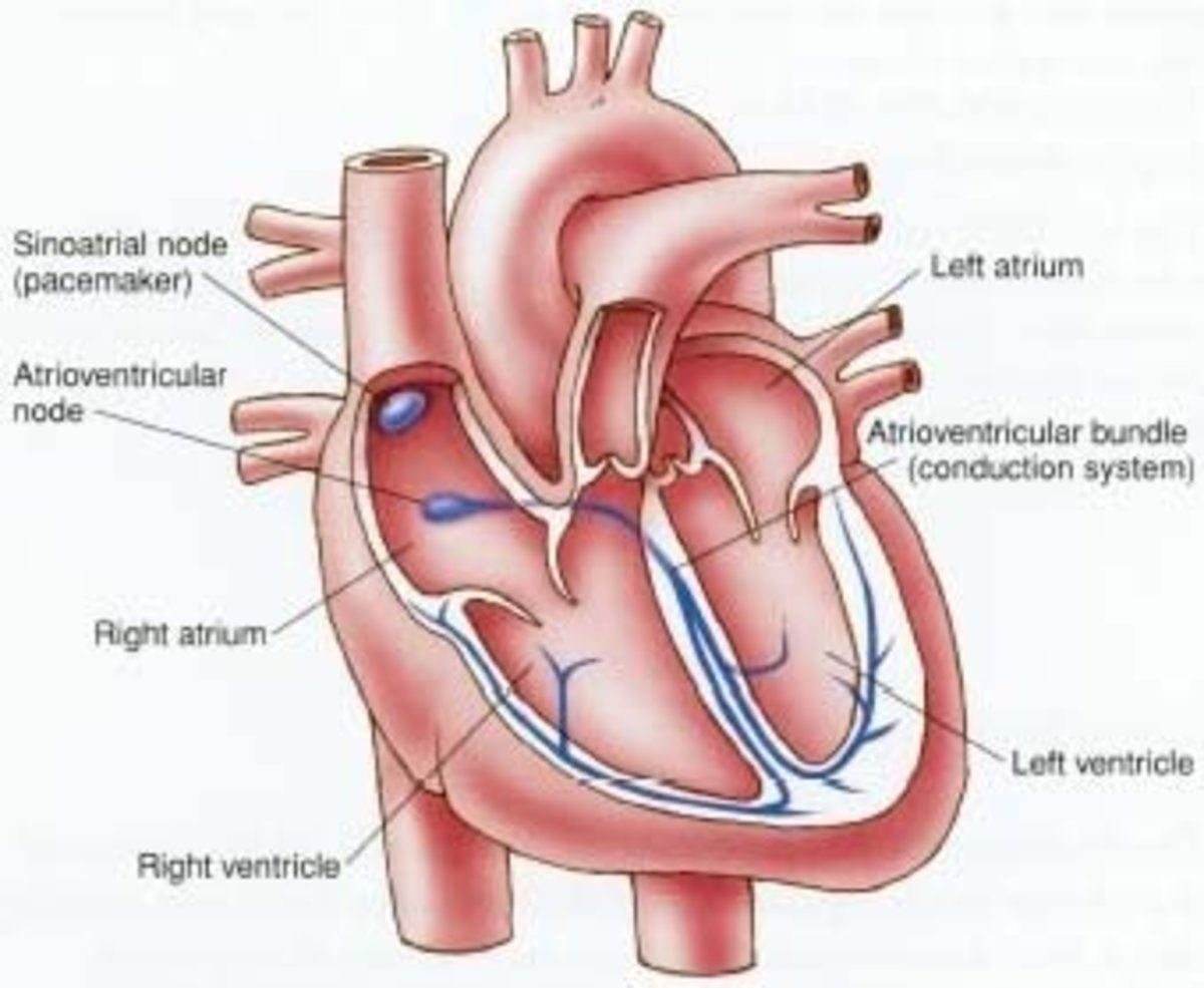 The heart pace maker and it's connections