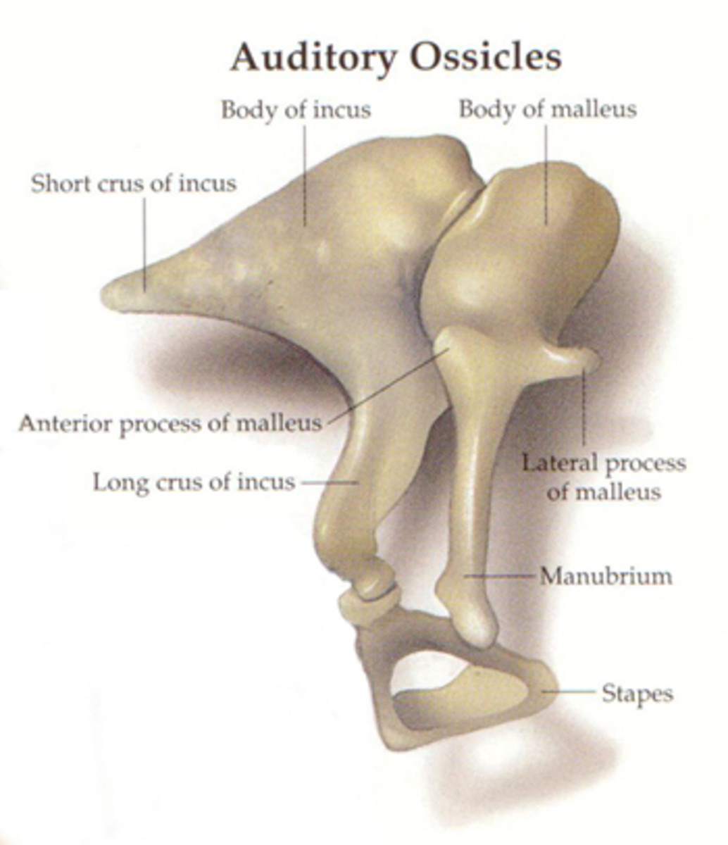 The Ossicles