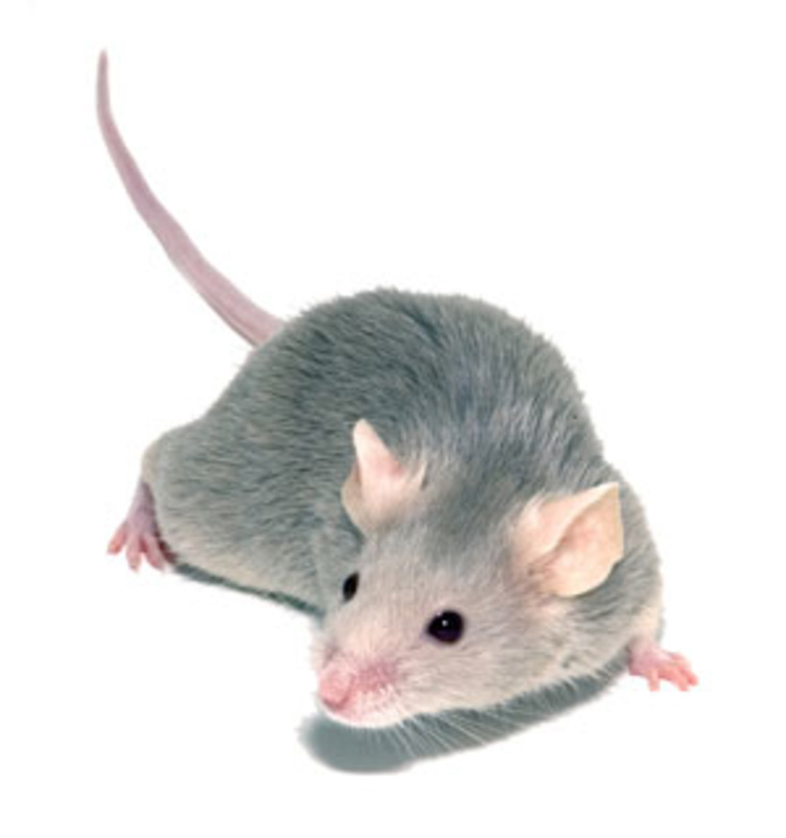 Mouse or Mus