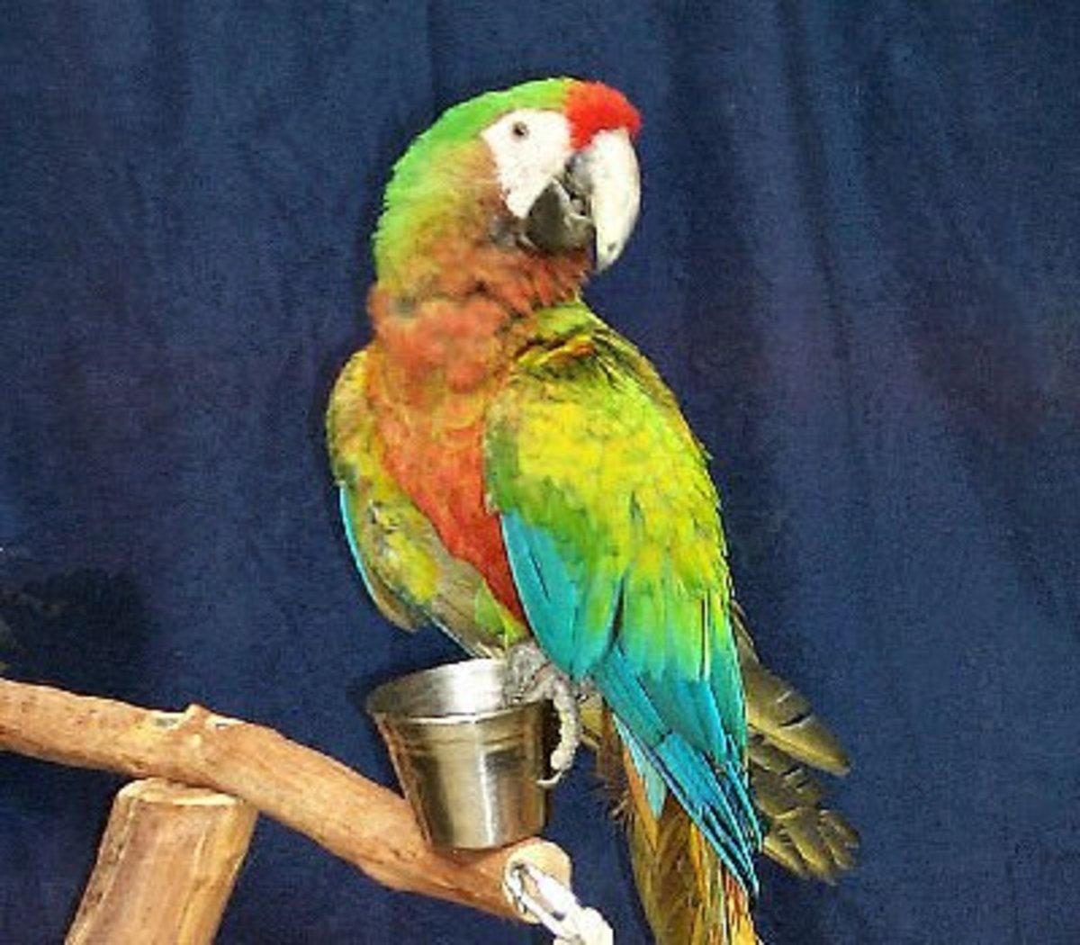 Hybrid Macaws