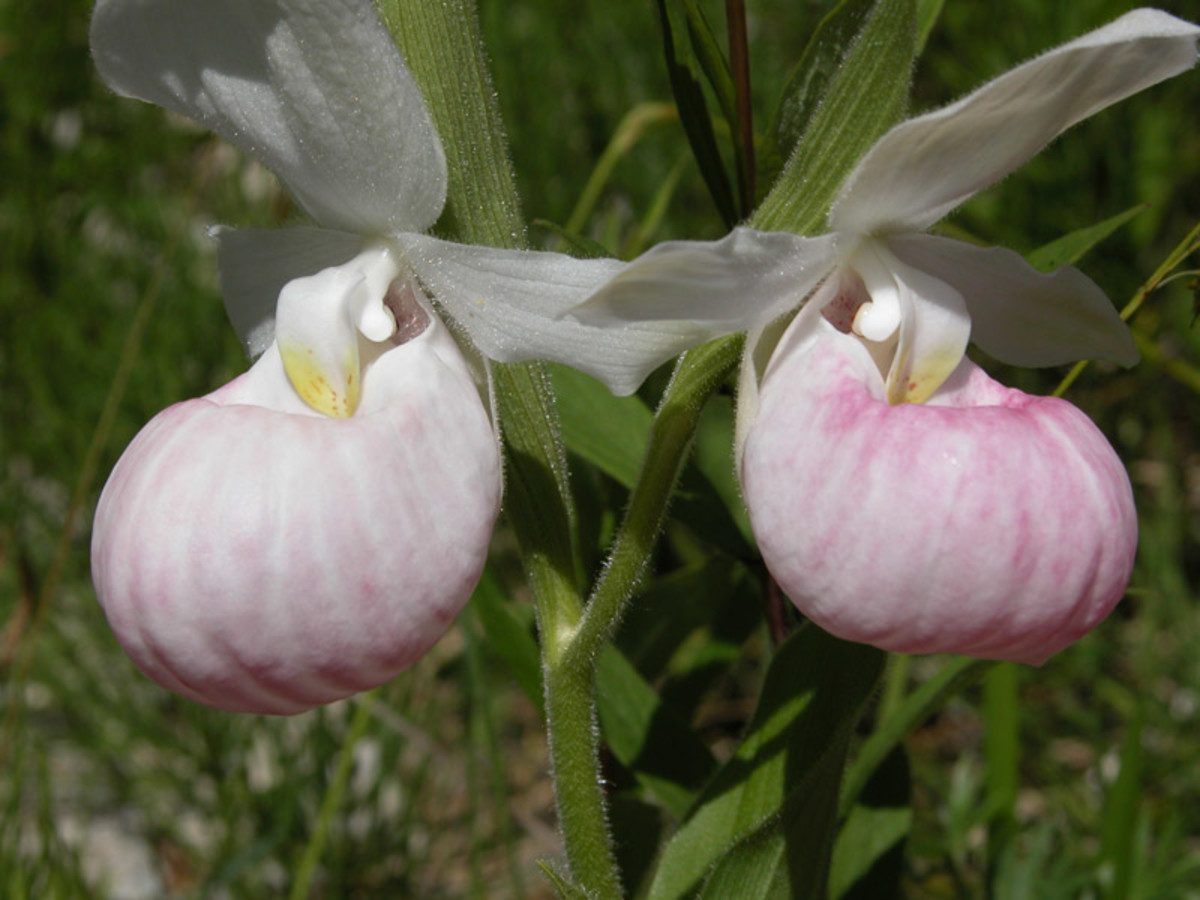 This particular orchid bloom looks a lot like another popular bloom called the lady slipper.