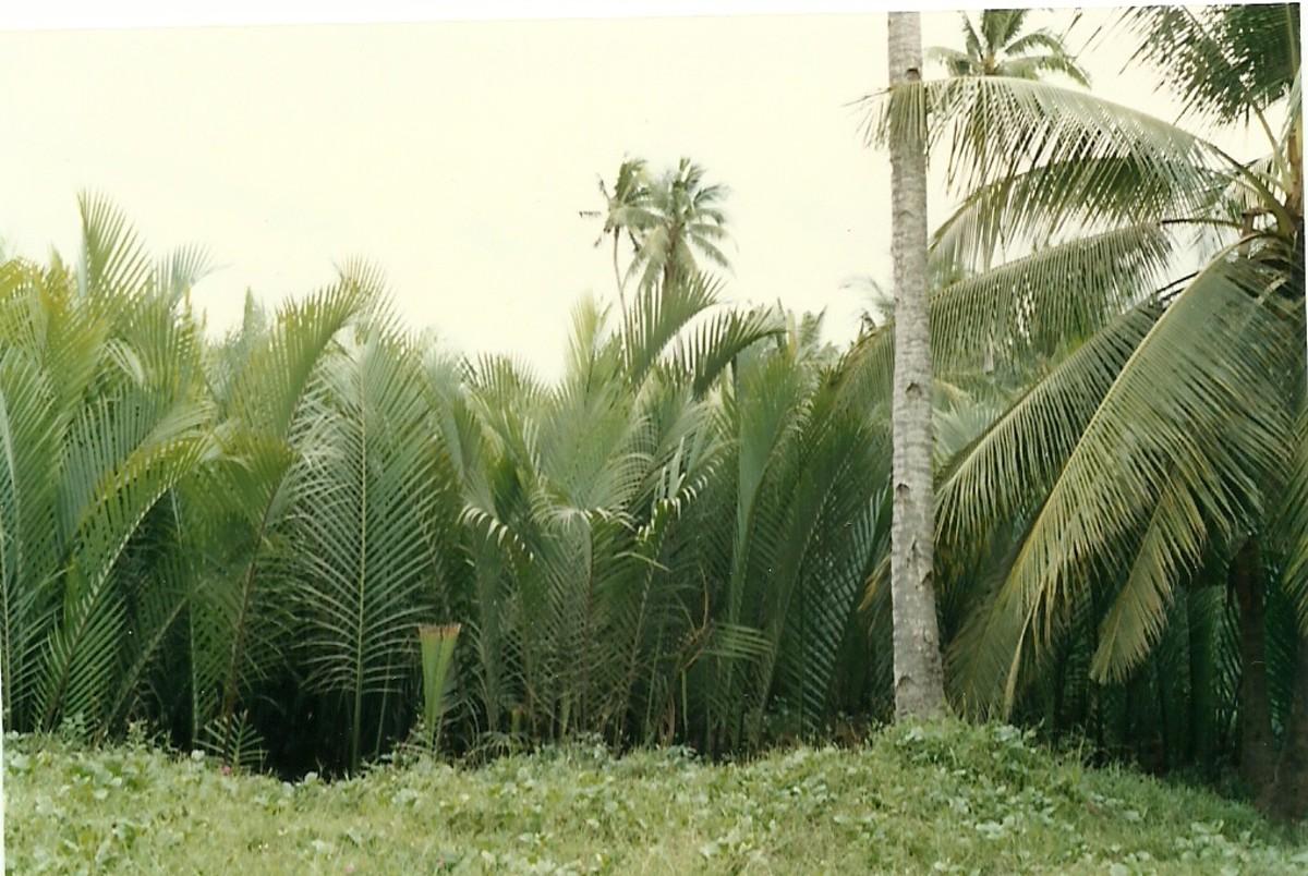 Nipa Plants, Gihaw-an Creek