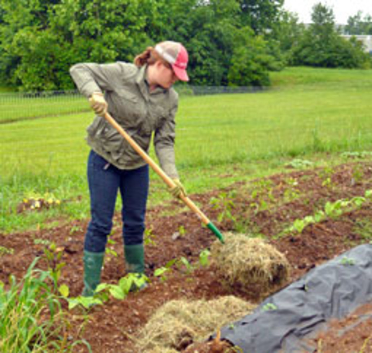 Mulching in a vegetable garden helps to retain moisture and to keep weeds at bay. Typically, straw or leaves are used here instead of bark chips.