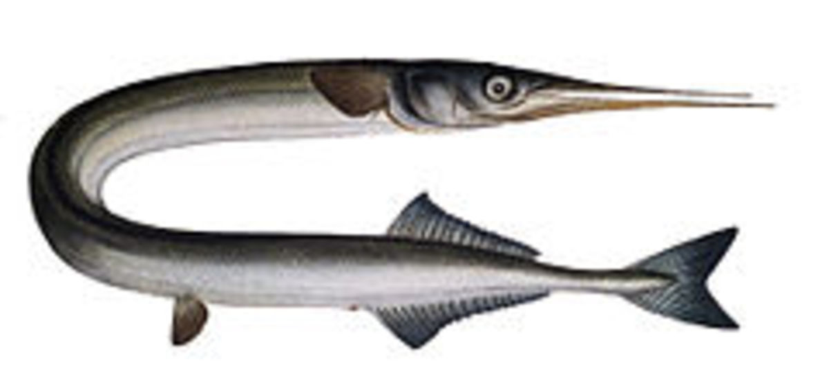 The Garfish also known as the noodle fish. The Garfish goes by many names