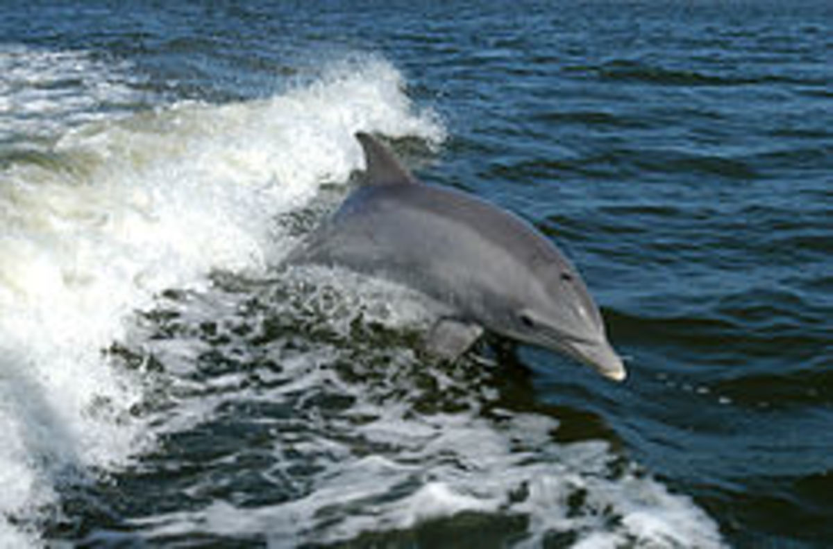 A beautiful dolphin similar to the one's found at Garden Island in South Australia.