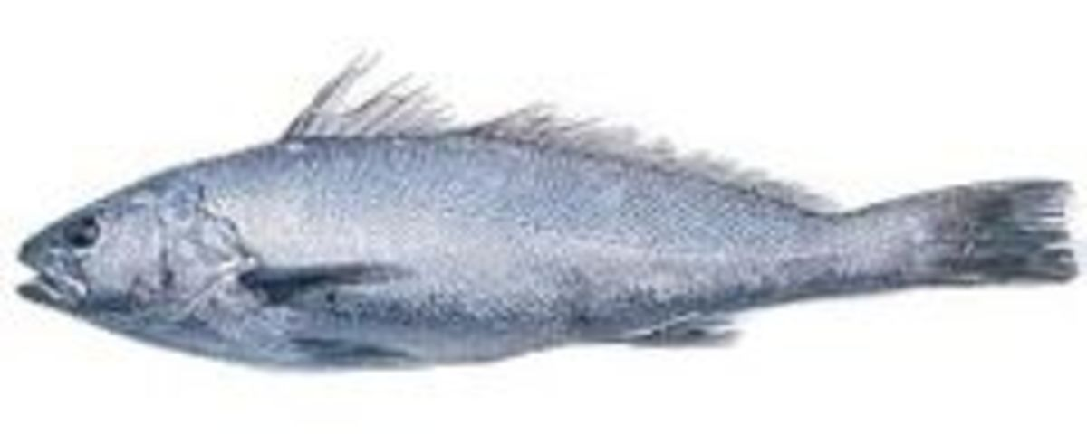 This is a Mulloway also known as a Jewfish