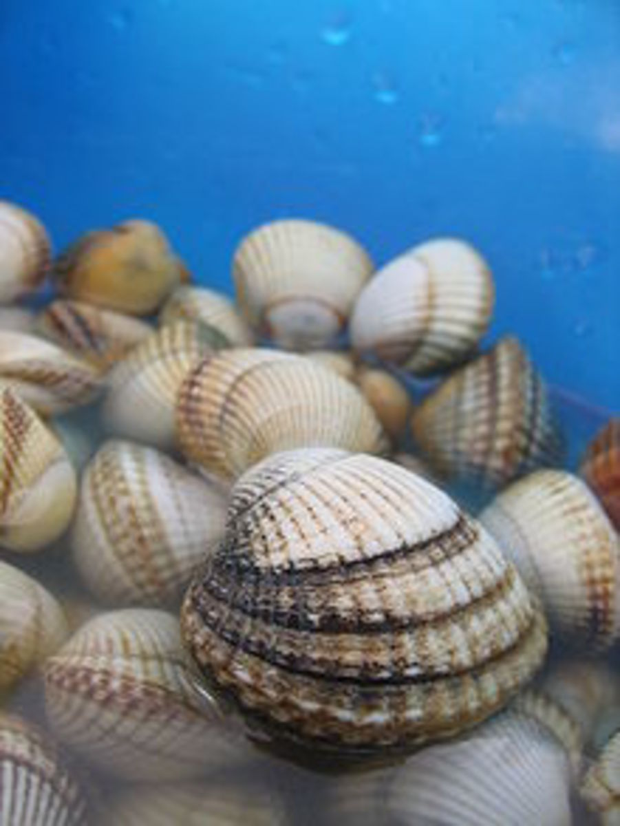 A cockle is a much loved food source at Garden Island.