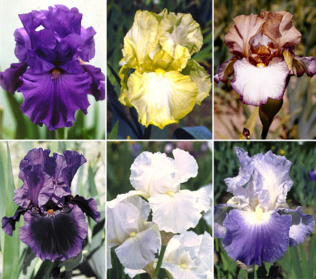 tennessee-state-flower-the-iris