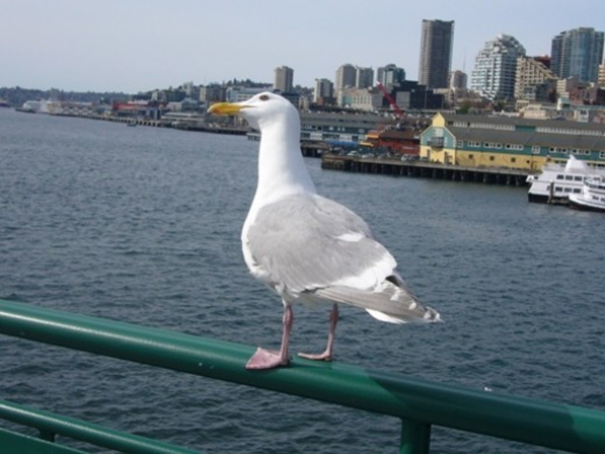 A Glaucous-Winged Gull Hitches a Ride