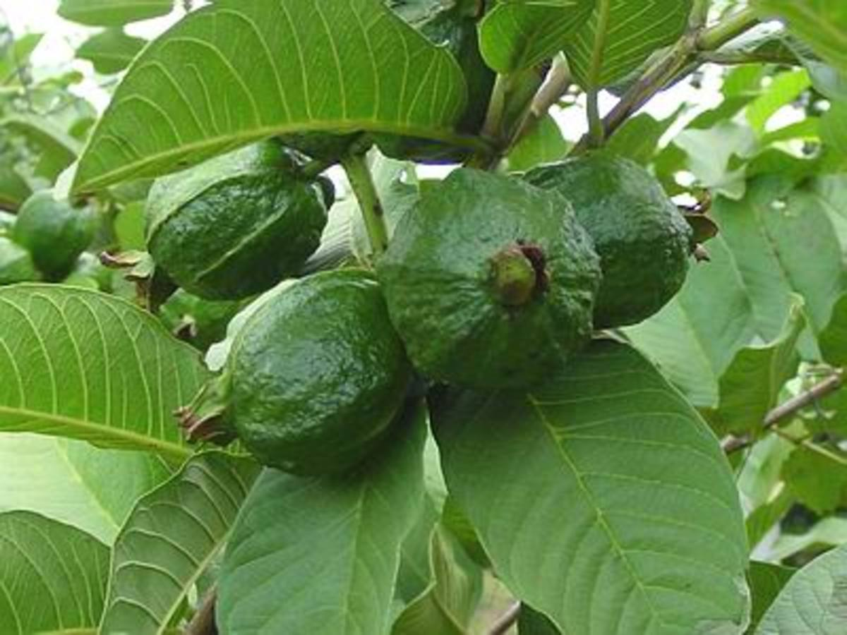 WONDERFUL GUAVA LEAVES