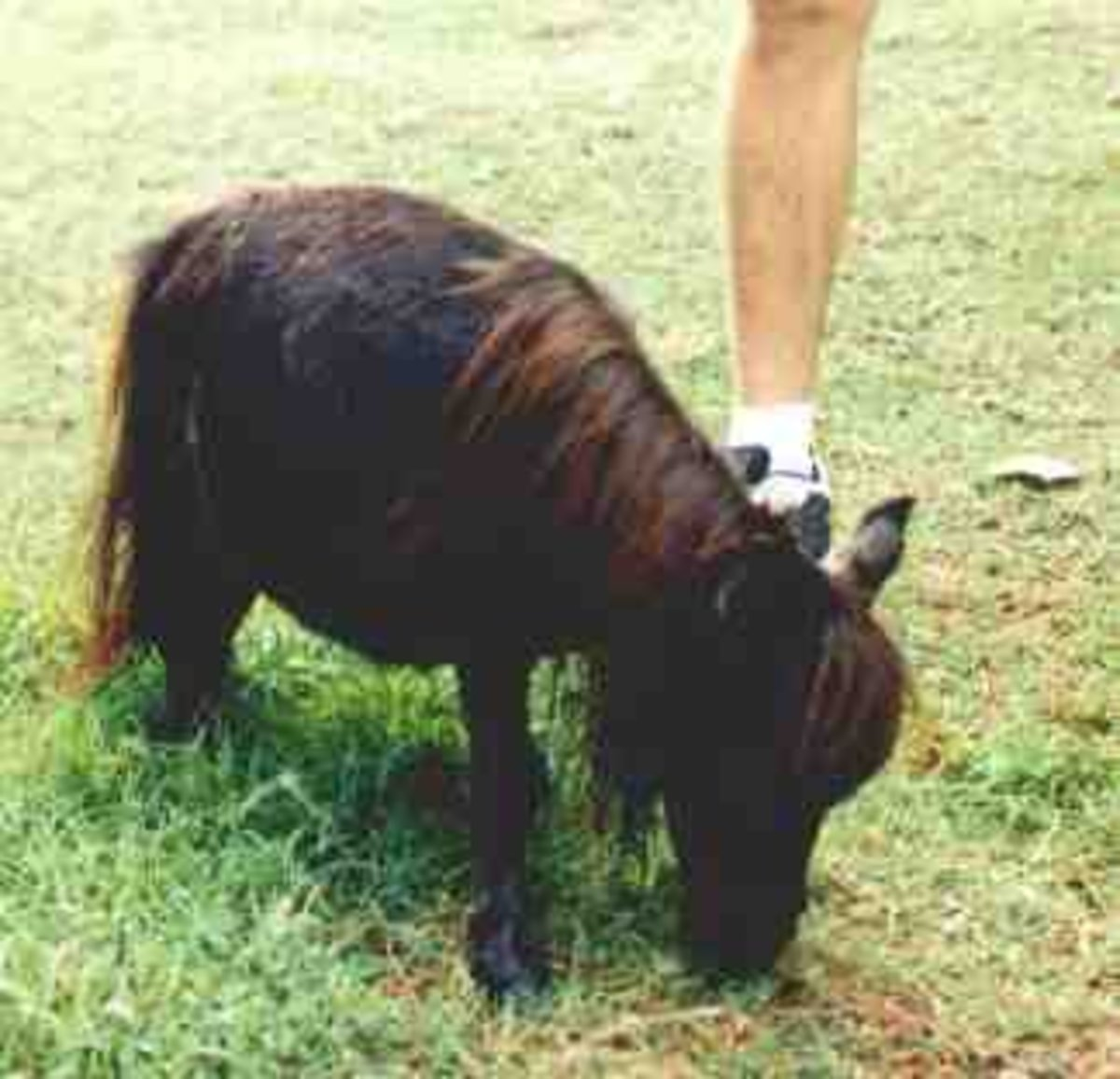 Black Beauty, the world's smallest horse.