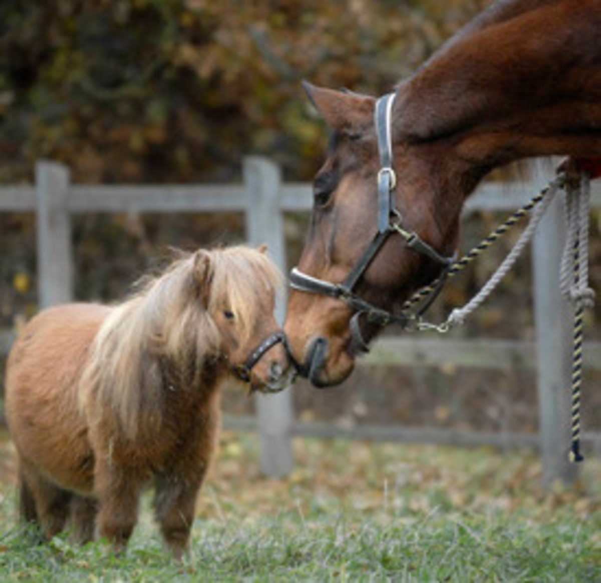 Lucy, Britain's smallest full-grown horse.