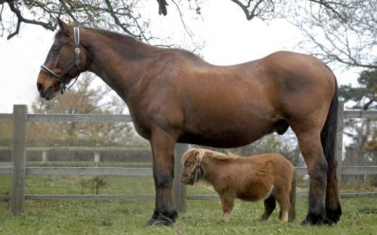 Lucy, Britain's smallest full-grown horse, with her friend Big Ben.
