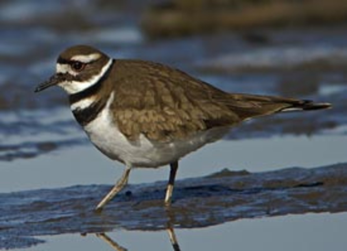 The Killdeer, so named for the loud Kill-deer shrill that it makes when disturbed on the nest, is a common bird that nests on lawns, golf courses and even landfills. It is a master of disguise when it comes to camouflaging its eggs and nest.