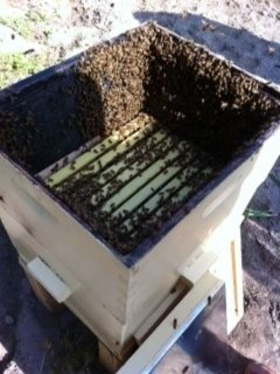 New bees being introduced to a hive