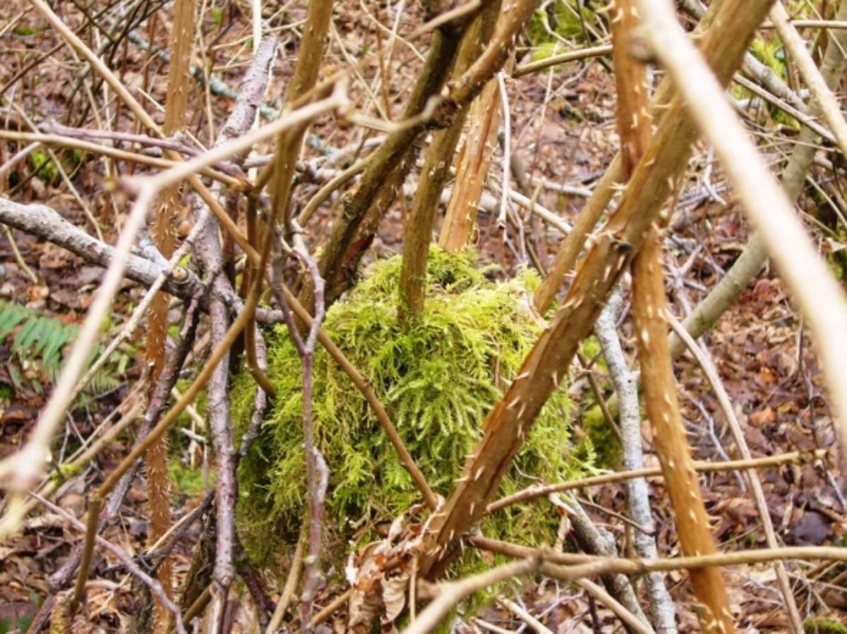 An Old Bird Nest Covered in Moss