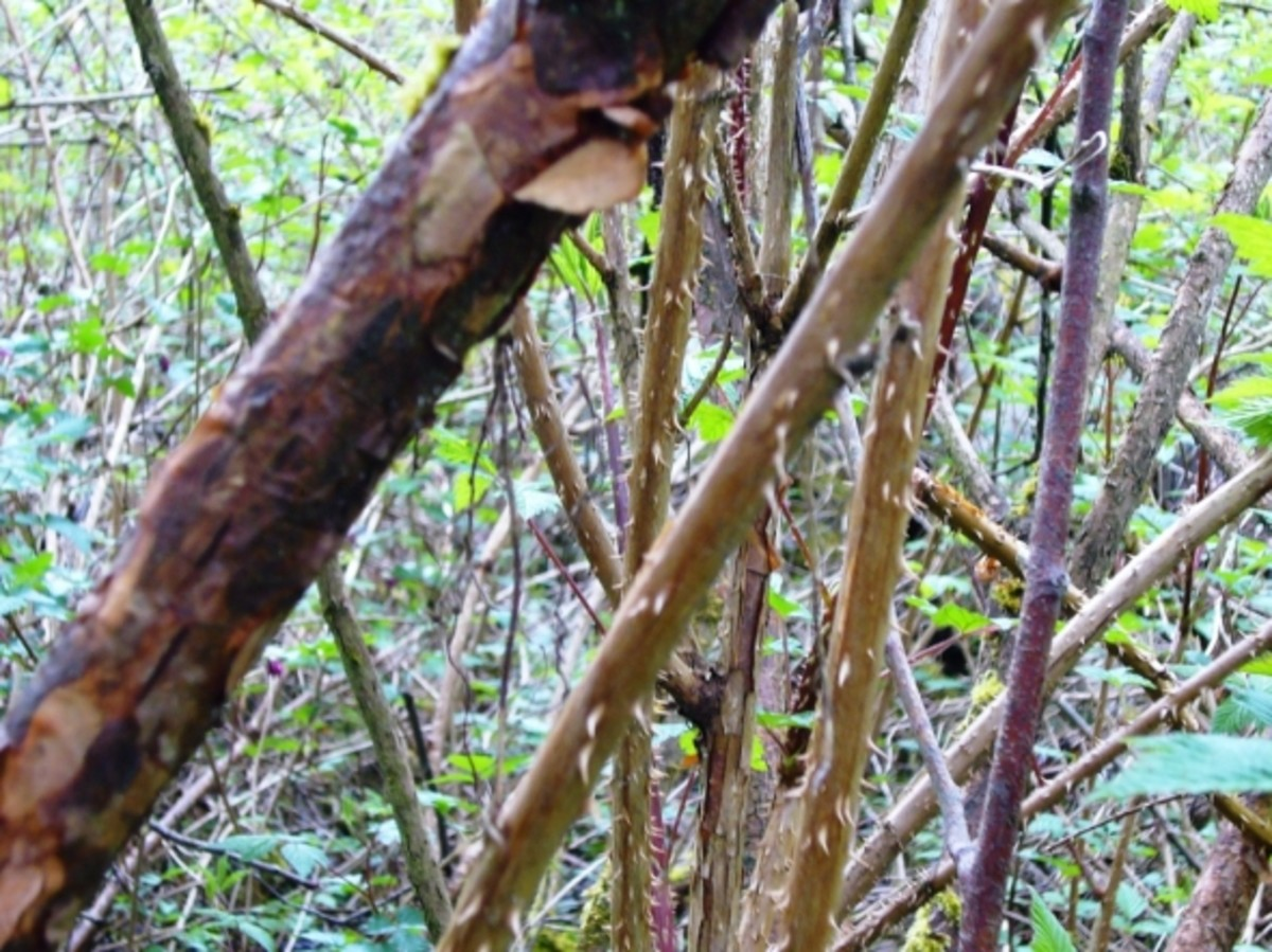Salmonberry Branches