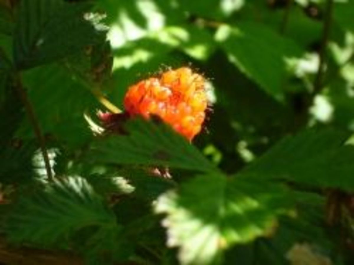A Yellow Salmonberry
