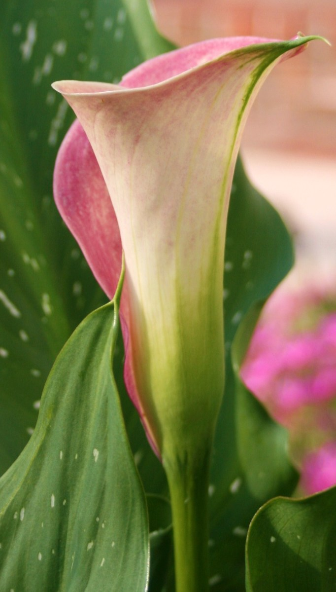 Calla lily flowers look like elegant cups for garden fairies.