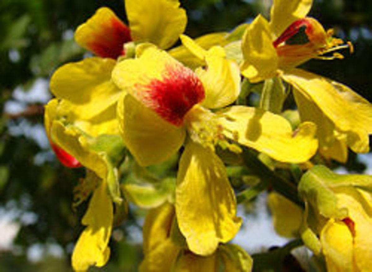 Brazilwood flowers.