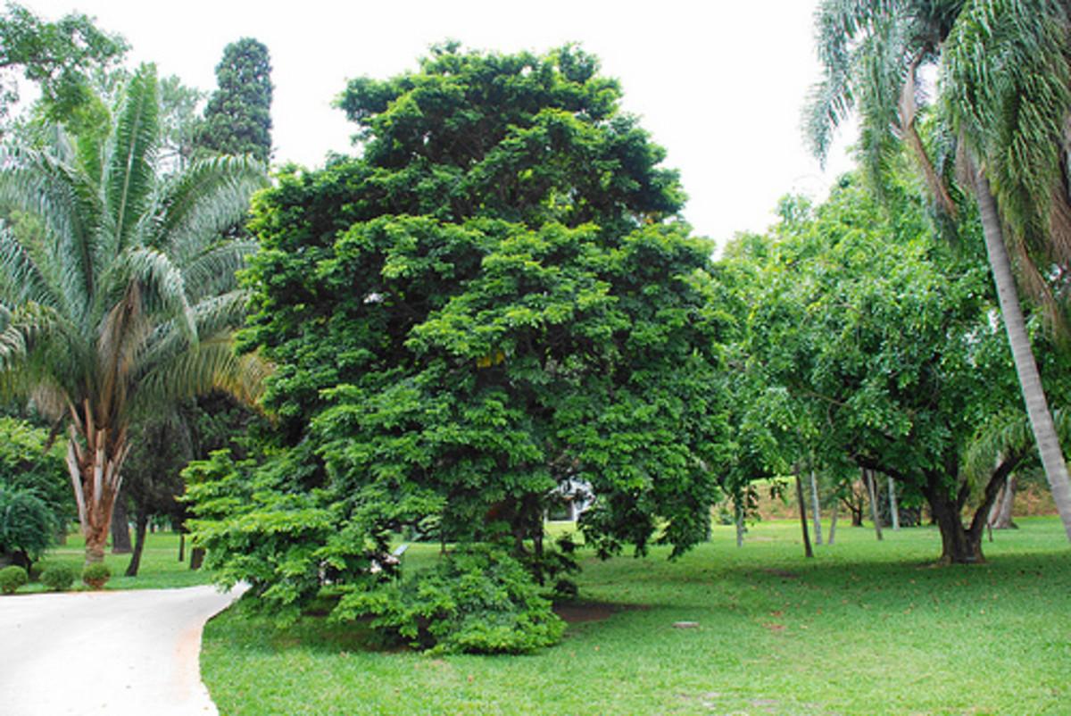 Brazilwood tree.