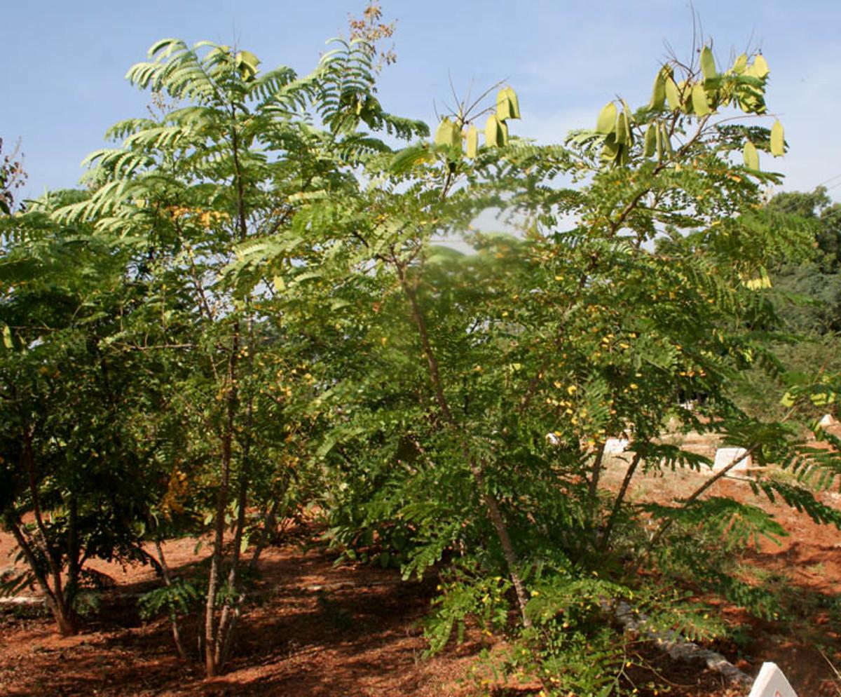 Sappanwood tree.