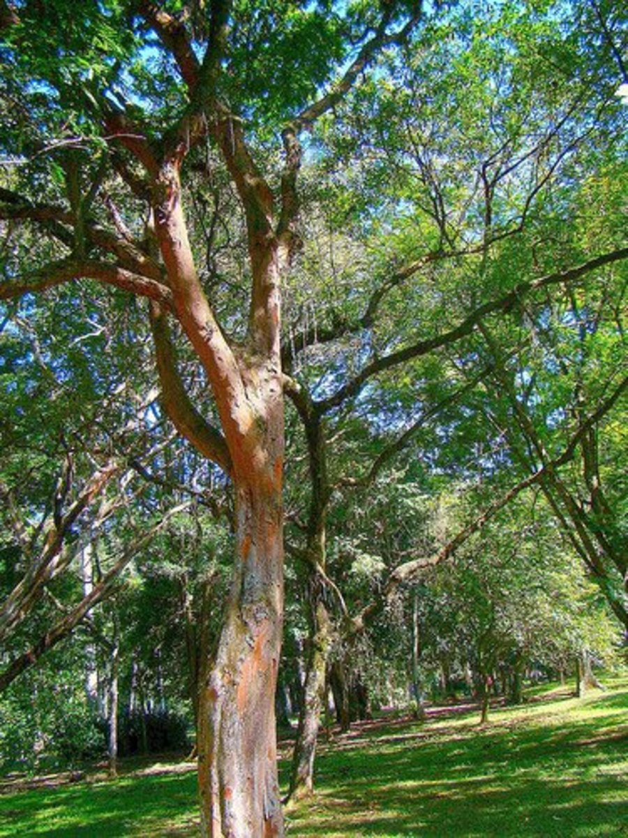 The Brazilwood flaming red colour of its bark.