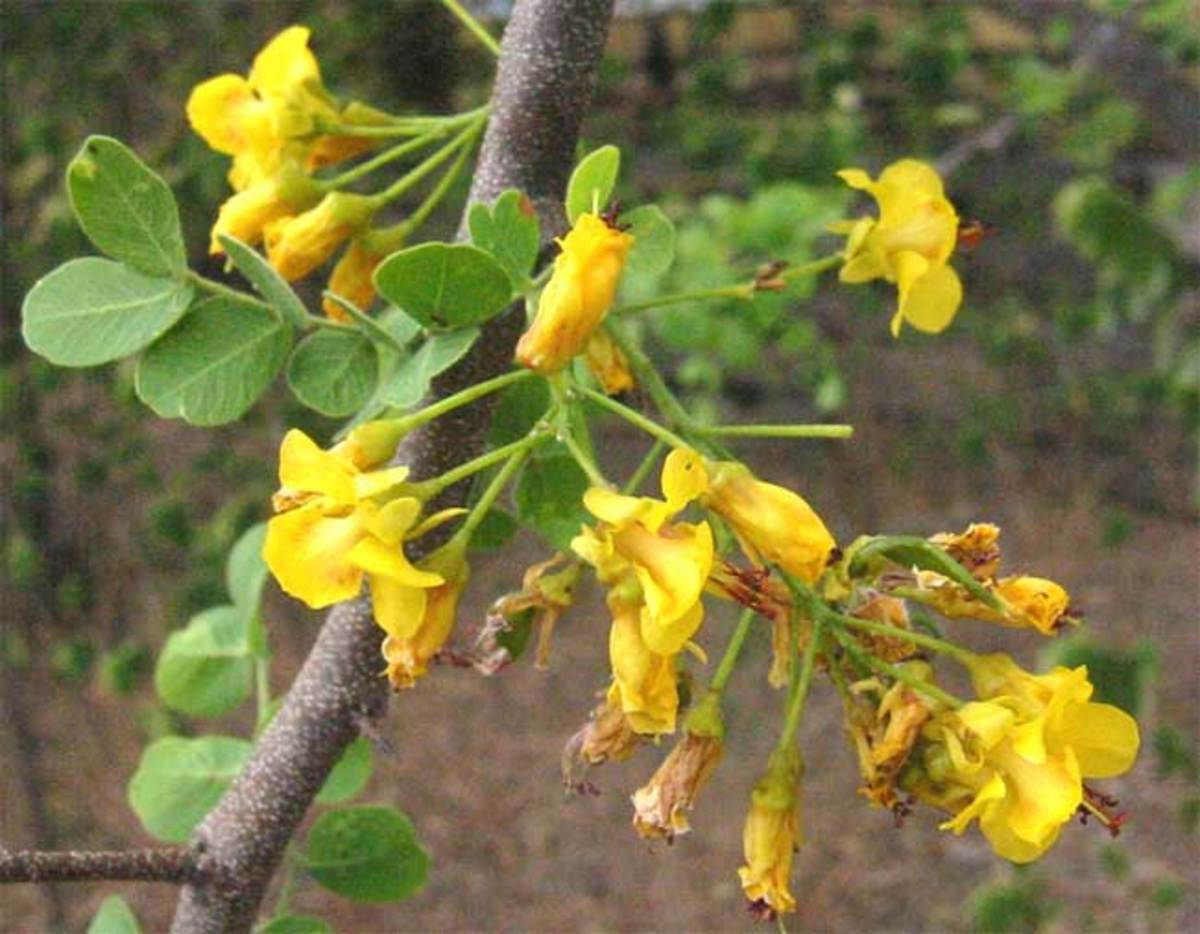 Detail on the flowers and leaves of Mexican logwood (Haematoxylum brasiletto), also traded as Brazilwood during the golden era of natural dyes.