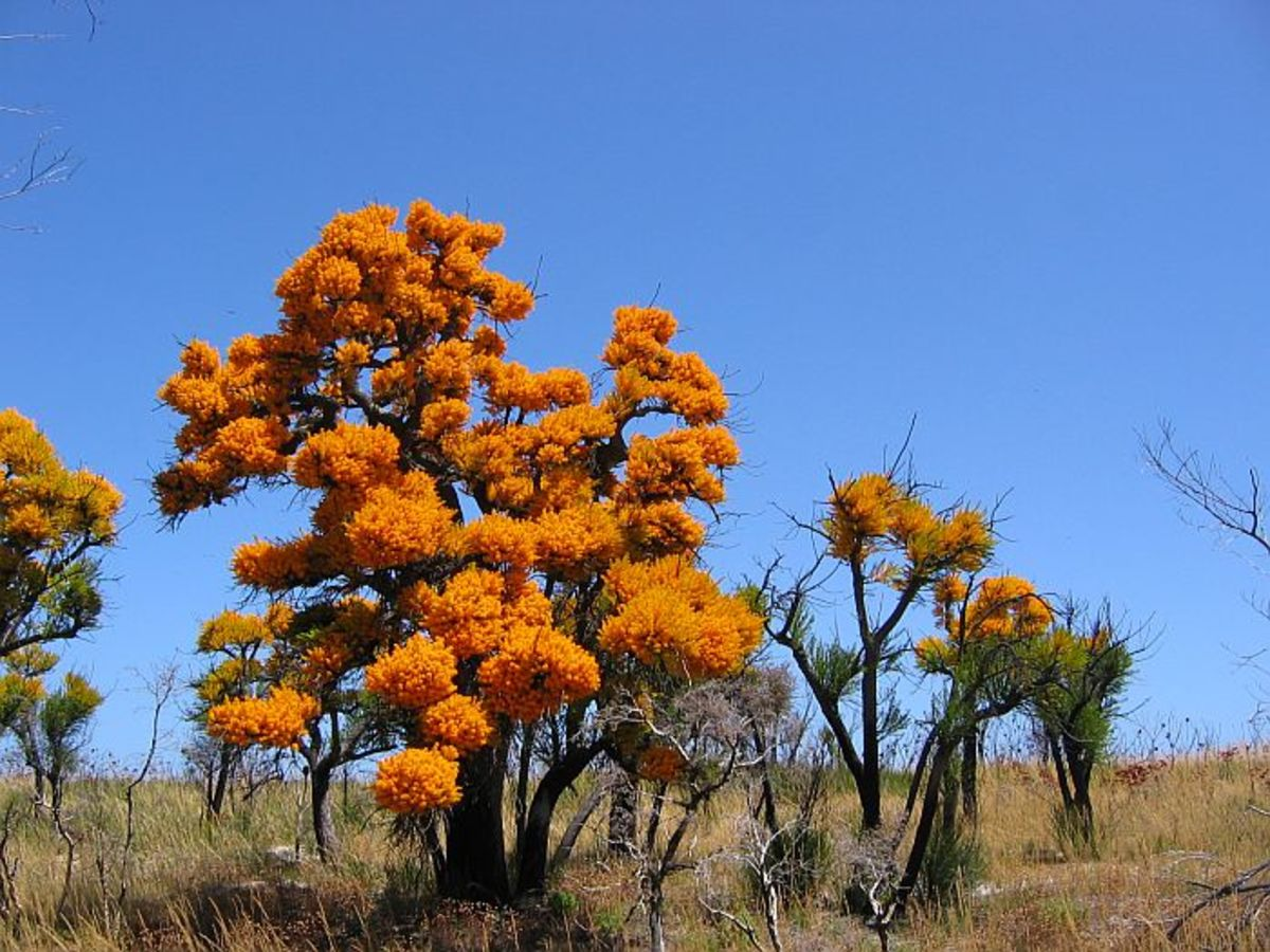 The Australian Christmas Tree, Nuytsia floribunda, and Its Ingenious Way of Survival