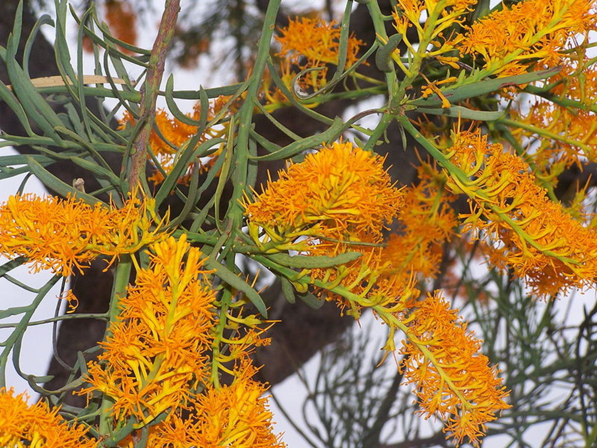 Detail on Australian Christmas tree flowers