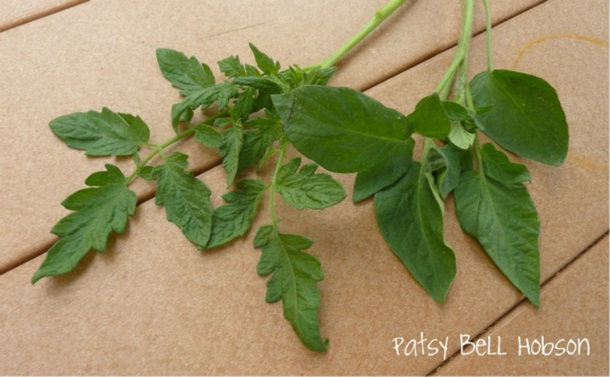 potato leaf or regular leaf tomato varieties plants which
