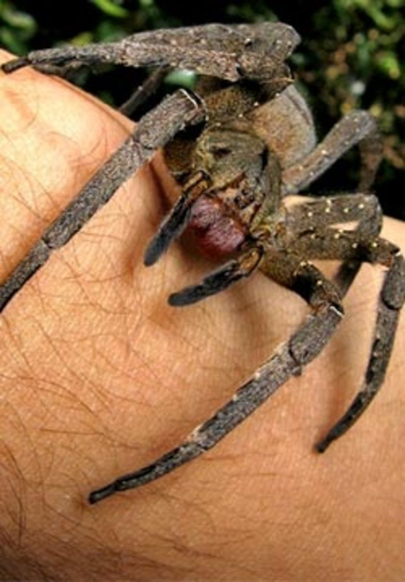 poisonous-and-venomous-snakes-spiders-in-brazil
