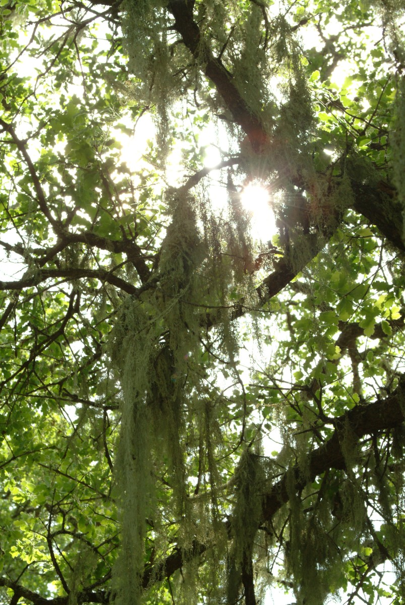 The sun shines through cloth-like willow  tree moss next to Lake Hennessey's shoreline.