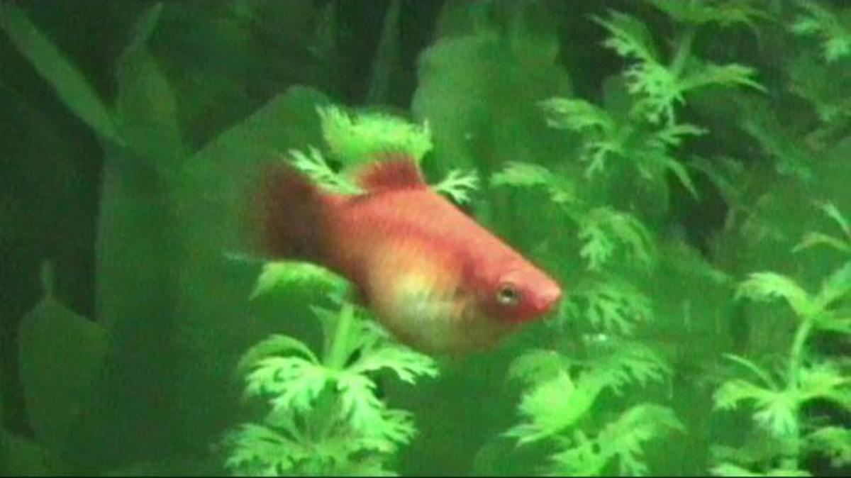 Platy female pregannt